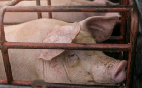 Schwein in Box im Stall